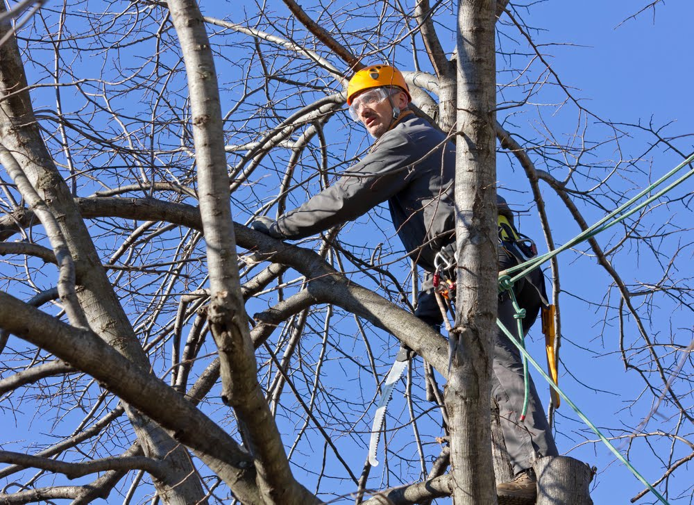 dead tree removal in mango hill
